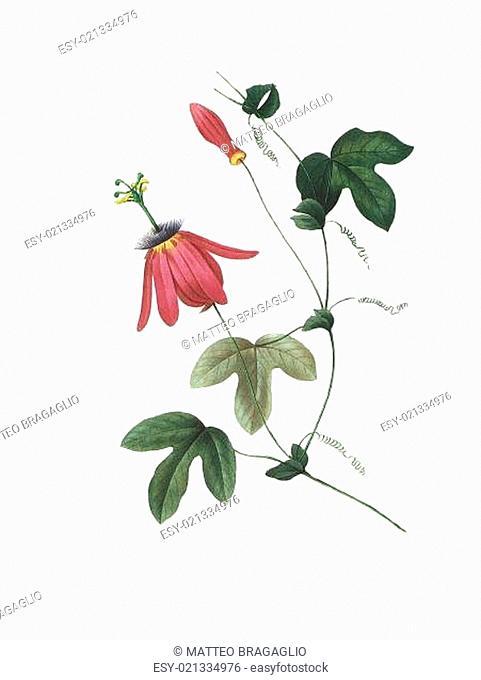flower antique illustration passiflora