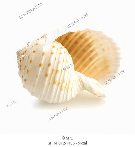 Costate tun sea shell