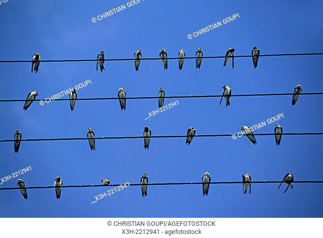 swallows on telephone wire