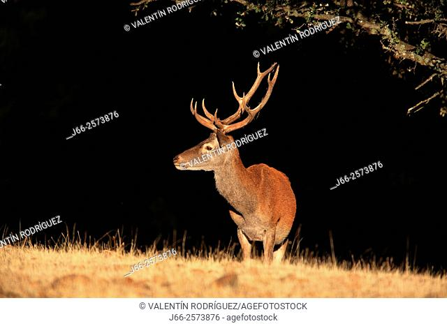 deer (Cervus elaphus) in Sierra Morena. Cordoba