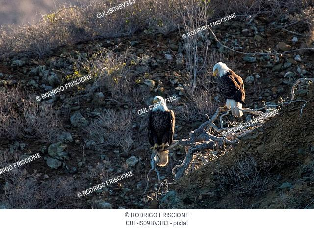 Mexican Bald Eagles on tree roots, San Carlos, Baja California Sur, Mexico