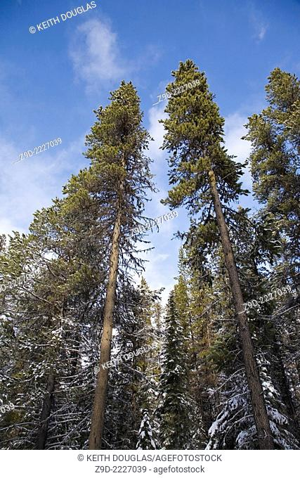 Lodgepole Pine trees, Hudson Bay mountain area, Smithers, British Columbia