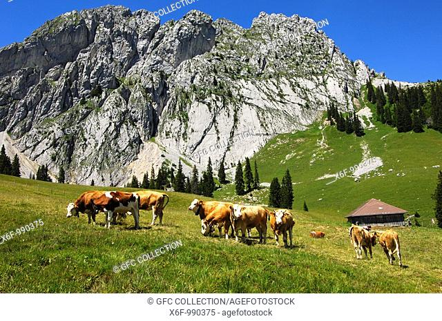 Cattle on a mountain pasture on the foot of the mountain range Gastlosen, Préalpes Fribourgeoises, Switzerland