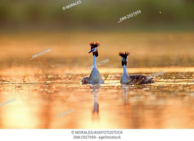 Europe, France, Ain, Dombes, Great Crested Grebe Podiceps cristatus, adults, couple at sunrise