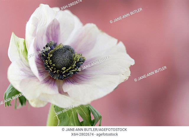 a single white anemone flower on mauve still life - fragile beauty in the language of flowers