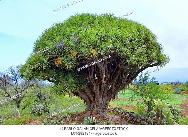 Drago tree. La Palma. Canary islands