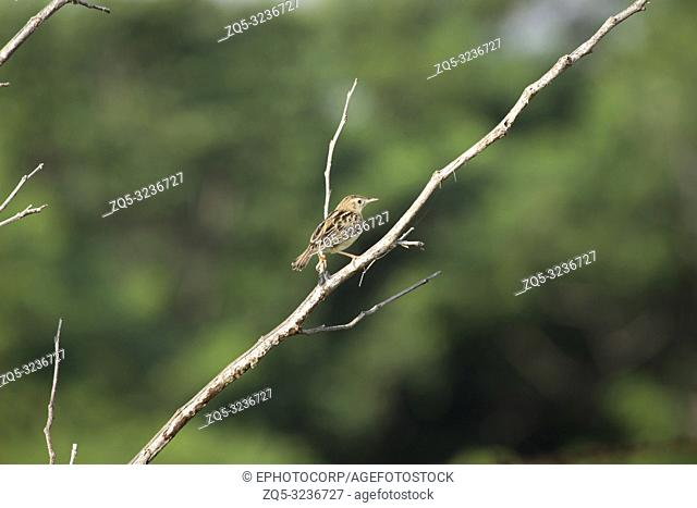 Zitting cisticola, Cisticola juncidis, ARAI Hills, Kothrud, Pune district, Maharashtra, India