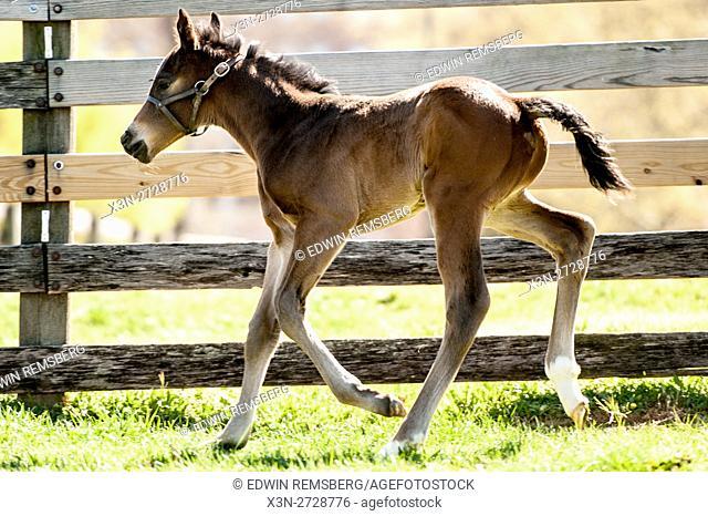 Newborn foal running on a farm