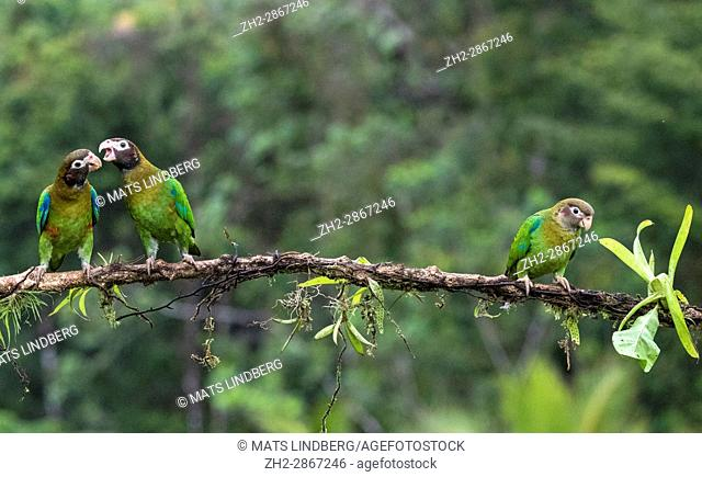 "Three Brown-hooded parrot, Pyrilia haematotis, sitting in a tree, two are """"talking"""" to each other, at Laguna del Lagarto, Boca Tapada, San Carlos, Costa Rica"