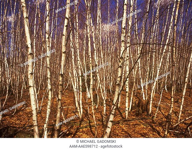 Gray Birch, pure Stand (Betula populifolia), SGL 300, Wayne Co., Pennsylvania