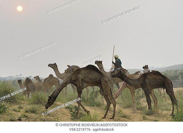 India, Rajasthan, Pushkar surroundings, Camel driver at sunset