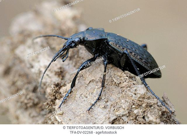 grainier ground beetle