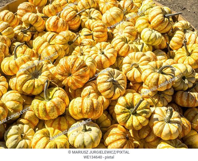Pump Ke Mon miniature pumpkin with variable coloration and light ribs. Most often a base white or yellow color with splotches and stripes of yellow or green