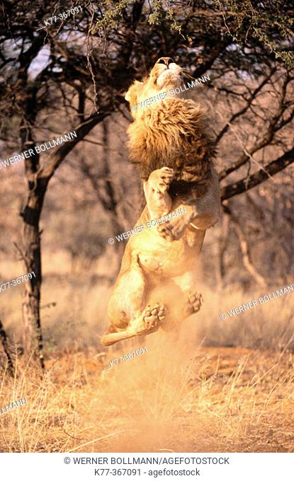 Lion jumping for food (Panthera leo) in captivity. Game Farm. Namibia