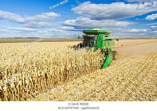 a combine harvester works in a mature feed/grain corn near Niverville, Manitoba, Canada