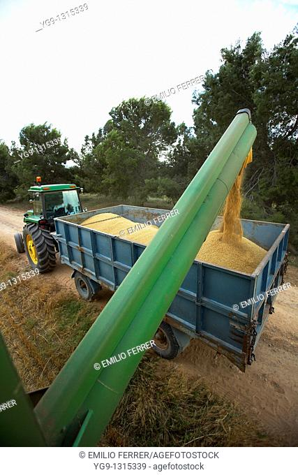 Combine-harvester on a field of wheat downloading wheat into a tow