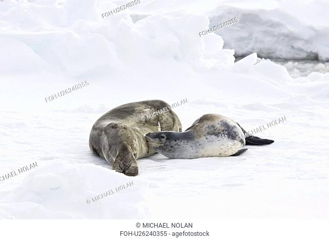 A mother and nursing newborn pup leopard seal Hydrurga leptonyx hauled out on ice floes on the western side of the Antarctic peninsula, southern ocean