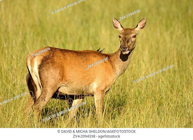 Red deer (Cervus elaphus) female standing on a meadow
