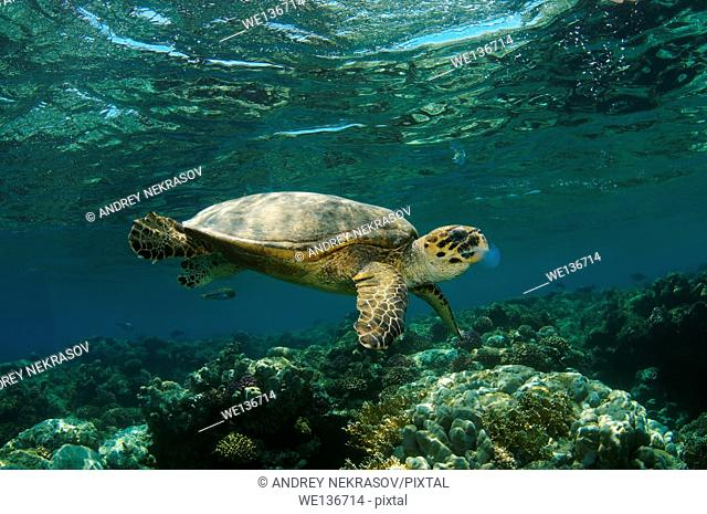 hawksbill sea turtle (Eretmochelys imbricata) eating jellyfish, Red sea, Abu Dabab, Marsa Alam, Egypt