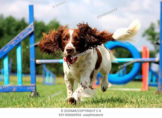 english springer spaniel pet gundog agility