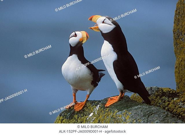 Horned Puffin pair on ledge with one calling in courtship display, Round Island, Walrus Islands State Game Sanctuary, Bristol Bay, Southwest Alaska