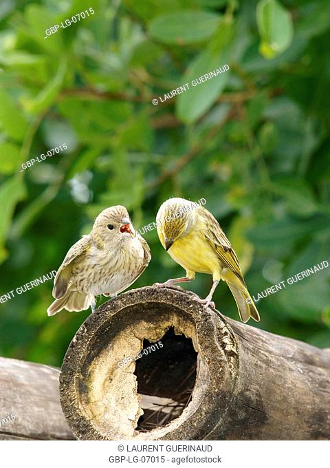 Bird, canário-da-terra, Ilha do Mel, Encantadas, Paraná, Brazil