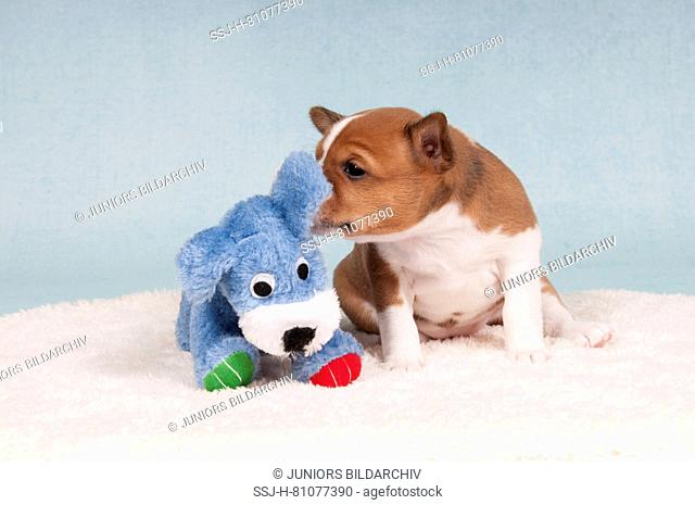 Basenji. Puppy (4 weeks old) sniffing at a toy dog. Germany