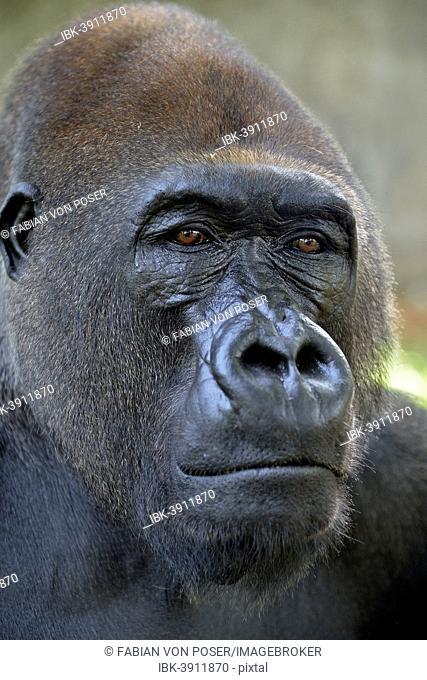 Western Lowland Gorilla (Gorilla gorilla gorilla), animal portrait, male, Silverback, captive, Limbe Wildlife Centre, Limbe, South-West Region, Cameroon