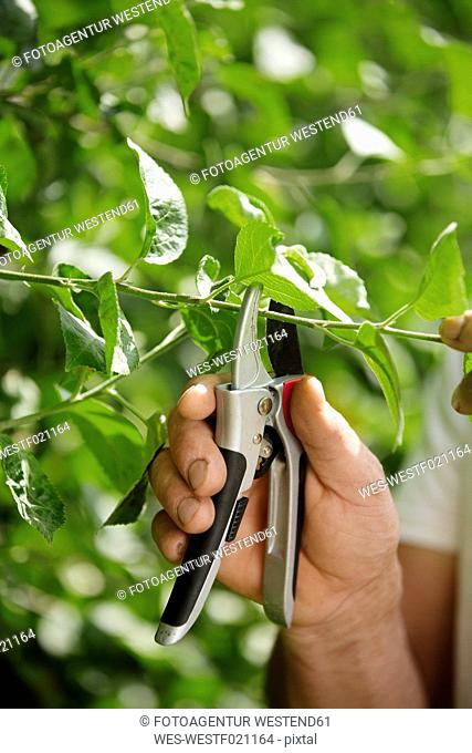 Man's hand pruning twig with gardening clipper