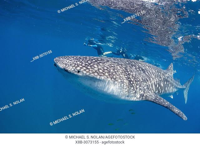 Young whale shark, Rhincodon typus, underwater with snorkelers at El Mogote, Baja California Sur, Mexico