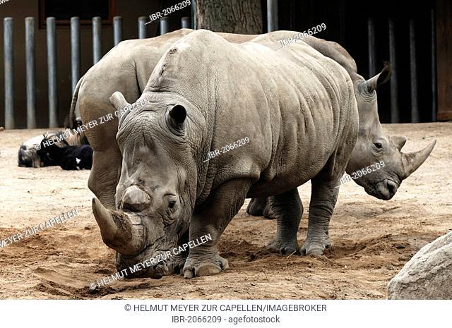 Two White Rhinos or Square-lipped rhinoceros (Ceratotherium simum), Schwerin Zoo, Schwerin, Mecklenburg-Western Pomerania, Germany, Europe