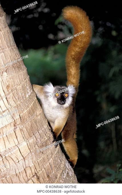 Black Lemur (Lemur macaco) female climbing, Nosy Komba, Madagascar