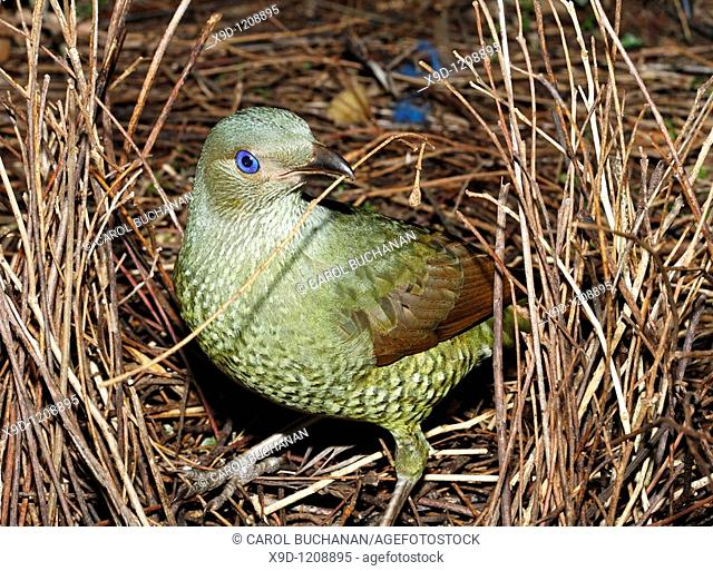 a green satin bowerbird, Ptilonorhynchus violaceus, building its bower  This is a young male which has not yet changed to the glossy black of the adult  Male...