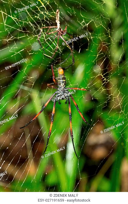 Golden silk orb-weaver, Giant spider on web. Nosy Mangabe, Toamasina province, Madagascar wildlife and wilderness. Female and dead eaten and killed male after...