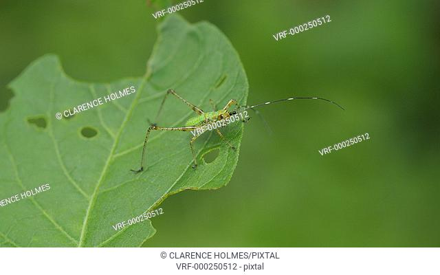 A Bush Katydid (Scudderia sp.) nymph perches on a leaf