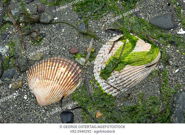 Clam shells, Fort Townsend Historical State Park , Washington