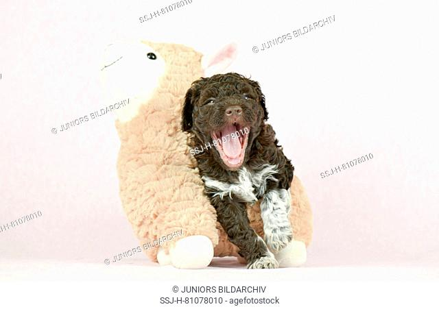 Lagotto Romagnolo. Puppy (5 weeks old) standing next to toy sheep while yawning. Studio picture against a white background. Germany