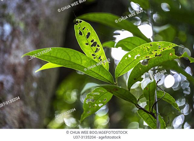 Back lit on tree leaves. Image taken at Stutong Forest Reserve Park, Kuching, Sarawak, Malaysia