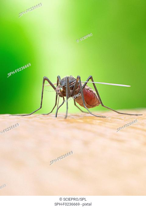 Illustration of a mosquito biting