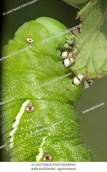 Tomato Hornworm (Manduca quinquemaculata) adult eating tomato leaves Central Florida