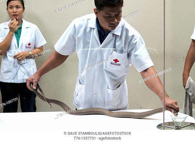 venom extraction at the snake farm in Thailand