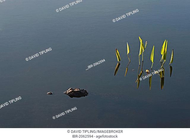 American Alligator (Alligator mississippiensis), Anhinga Trail, Everglades, Florida, USA