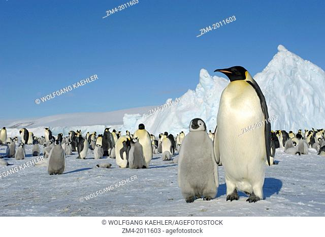 ANTARCTICA, WEDDELL SEA, SNOW HILL ISLAND, EMPEROR PENGUIN COLONY Aptenodytes forsteri WITH CHICKS, , ADULT WITH CHICK IN FOREGROUND