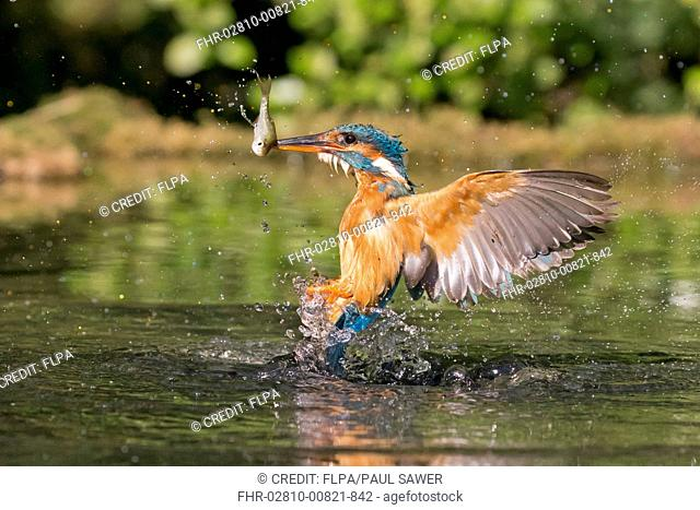 Common Kingfisher (Alcedo atthis) adult female, in flight, emerging from dive with Common Rudd (Scardinius erythrophthalmus) prey in beak, Suffolk, England
