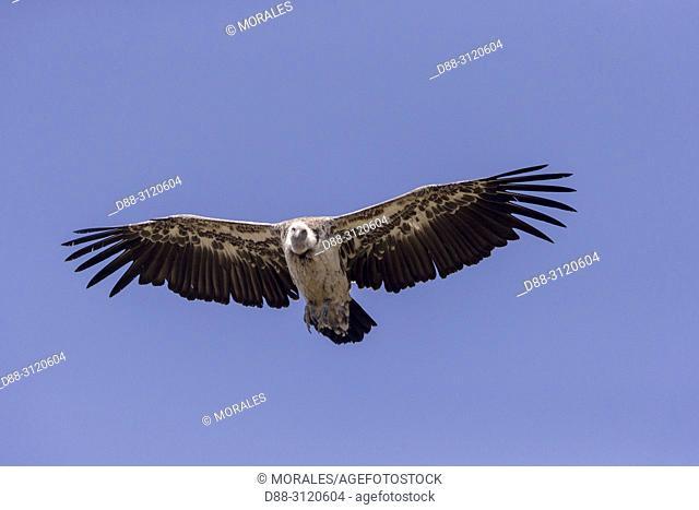 Africa, Ethiopia, Rift Valley, Debre Libanos, White-backed vulture (Gyps africanus), in flight