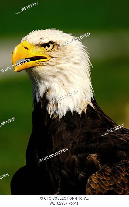 Portrait of a Bald Eagle Haliaeetus leucocephalus