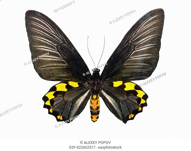 Butterfly Troides Hypolitus