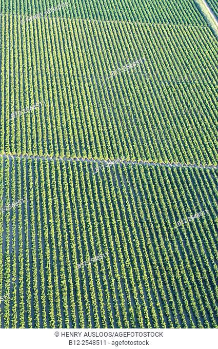 France, Camargue, Gard department, Vineyards