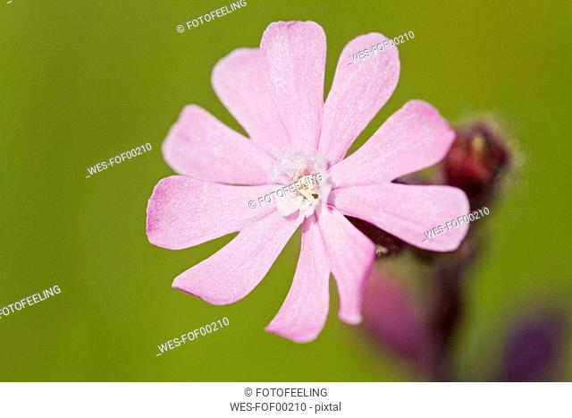 Bladder Campion, Silene vulgaris, close-up