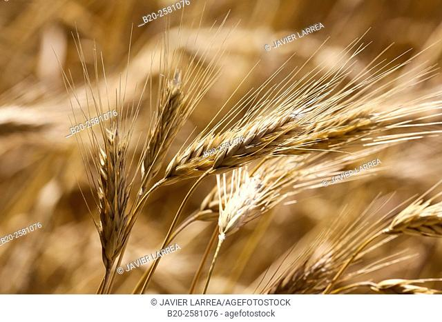 Field of wheat, Cereals, 'Learza' estate, Near Estella, Navarre, Spain